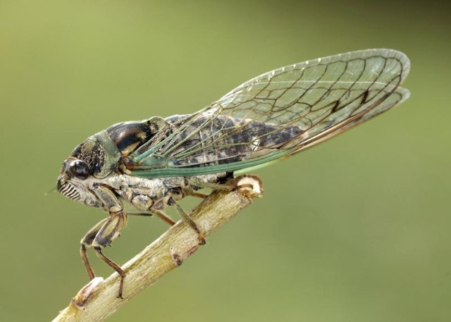 An adult cicada perched on a twig.