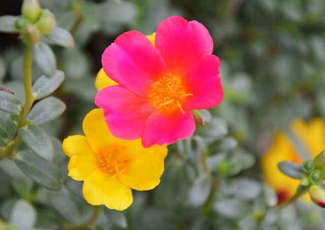 Moss roses add color to an outdoor space.