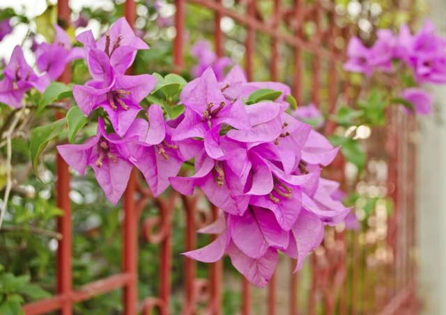 Blooming pink bougainvillea vines growing up a trellis wall.