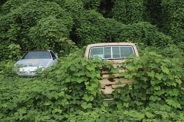 Kudzu vines taking over abandoned cars.