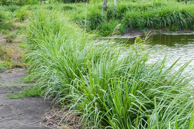 Citronella plants edging a pond