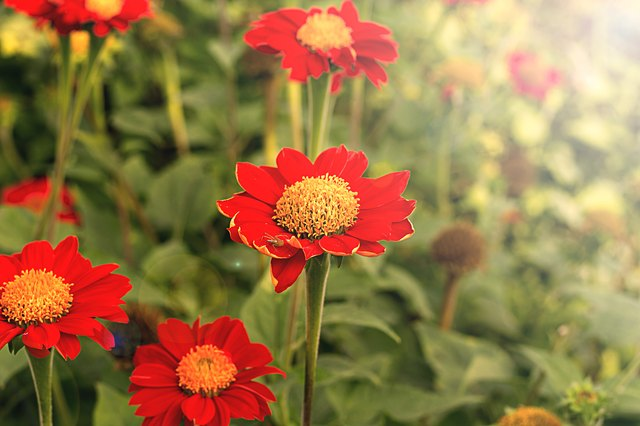 Zinnia flowers are a variety of colors and shapes, including single-flowered types.