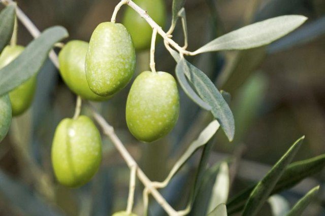 Close-up of green olives growing on tree.