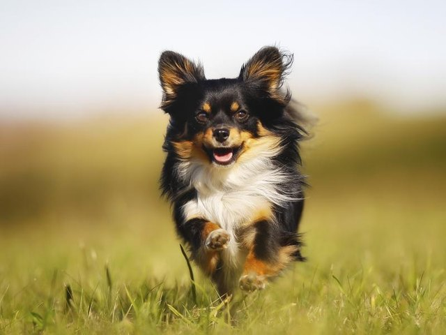 What Are Rare Chihuahua Colors? (with Pictures) | eHow