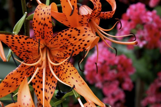 Vibrant orange tiger lily with pink flowers in background