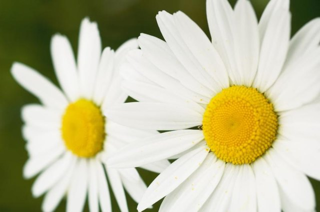 A couple of daisies.