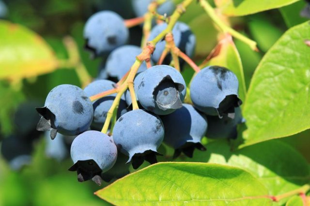 The fruit of a highbush blueberry plant.