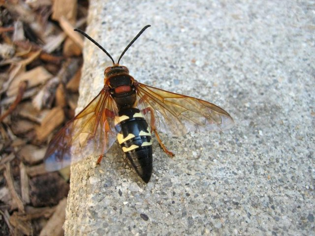 Close-up of a cicada killer wasp on a rock