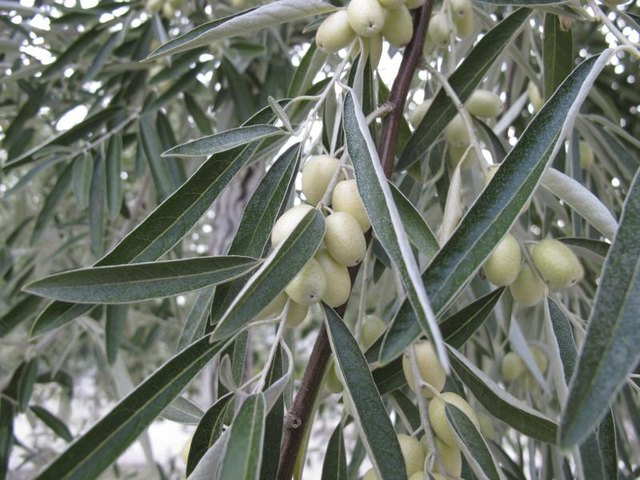 Close-up of Russian olives growing on tree.