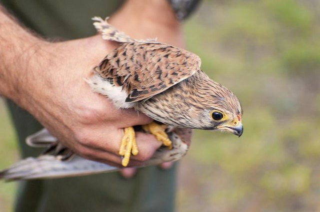 A falcon in the hands of a trainer.