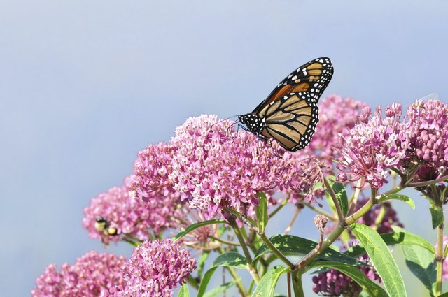 Swamp milkweed thrives in wet soil.