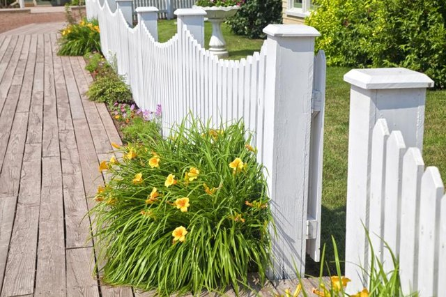 Yellow daylilies growing next to white picket fence