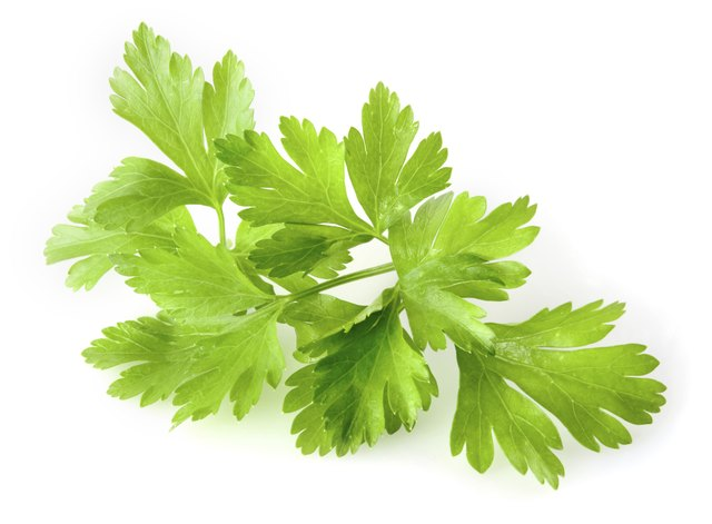 Flat-leafed parsley's leaves have no curl on the end.