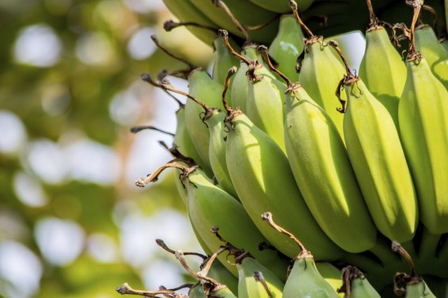Green bananas grow on a tree.