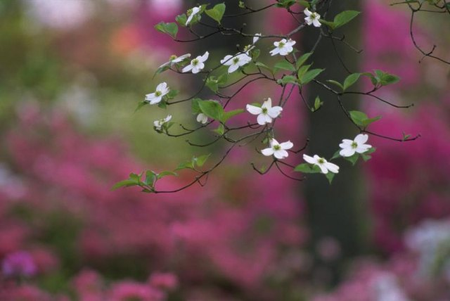 A close-up of white dogwood blossoms with a pink variety flowering in the distance.