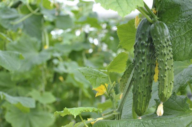 Conventional seeds may help cucumbers get healthier starts.