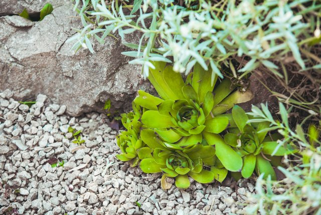 Succulents add color and texture to a dry rock garden.