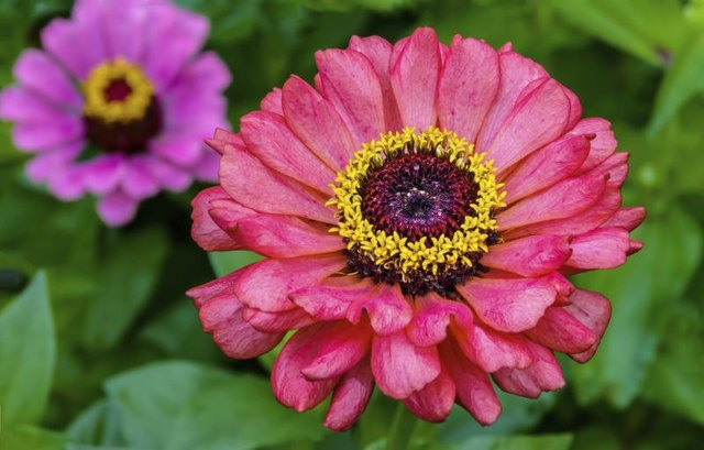 A close-up of pink and purple common zinnias.