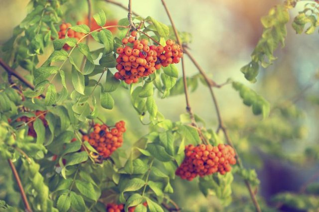 Berries grow on a viburnum bush.
