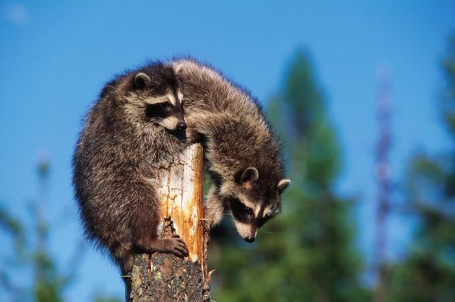 A raccoon perched on a tree top.