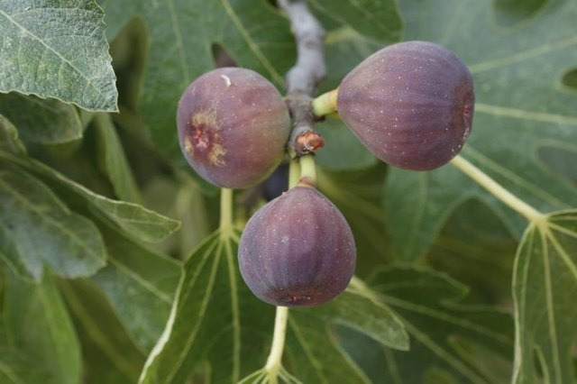 Ripe figs growing on a branch.