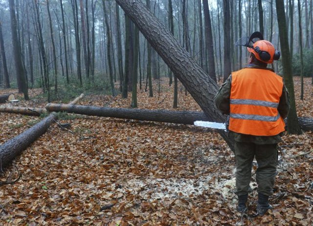 A forestry worker cuts down a tree.