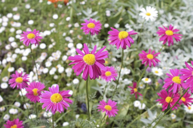 "Pyrethrum daisy is also called ""painted daisy."""