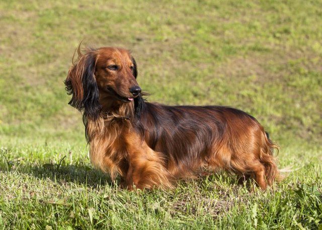 How Many Different Types of Dachshunds Are There? | eHow