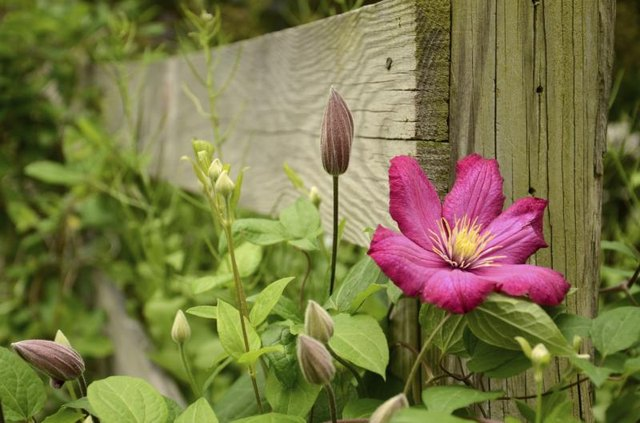Clematis texensis vines growing up a fence post.
