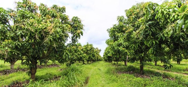 Mango Farms In Florida: Mango Tree Its Uses With Pictures