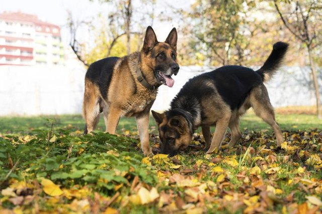 Two German Shepherds playing in grass field.