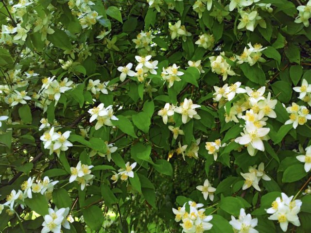 A green wall of fragrant jasmine blossoms.