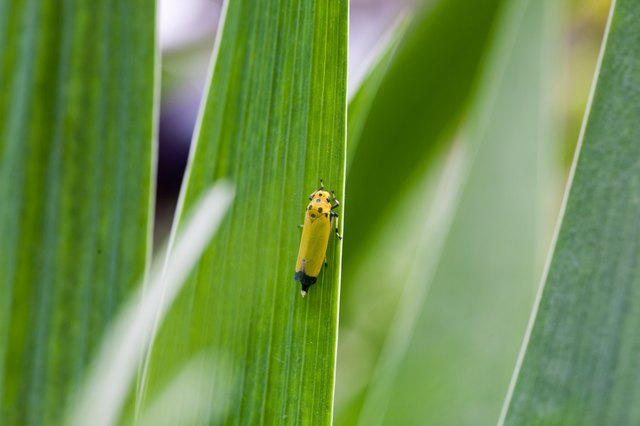 Herbal sprays can effectively repel leafhoppers.