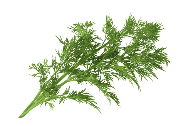 Feathery dill leaves grow on an upright stem.
