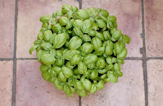 A basil plant repels pests because of its pungent odor.