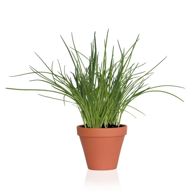 Chives grow in an upright shape.