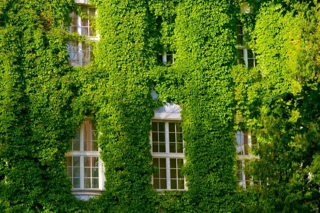 Virginia creeper smothers plants as easily as it smothers buildings.