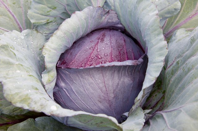 Late-season red cabbage tends to do very well in storage.