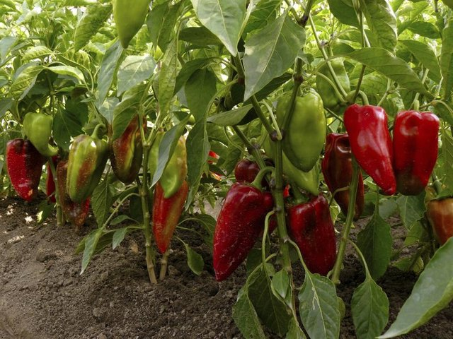 Pepper seeds prefer long, hot summers and an early start indoors.