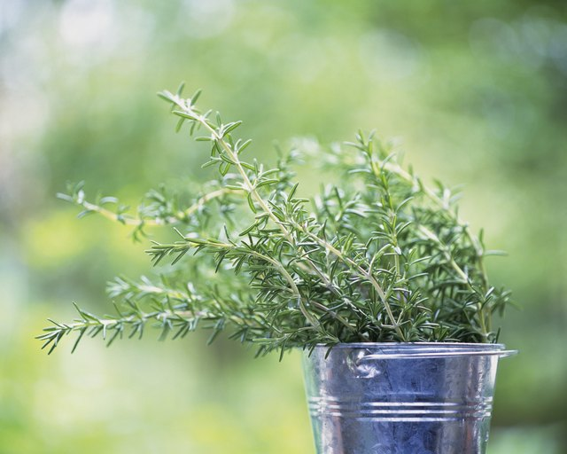Rosemary requires sun and well-draining soil to thrive.