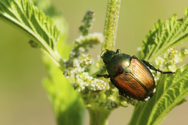 Japanese beetles are a destructive garden pest.