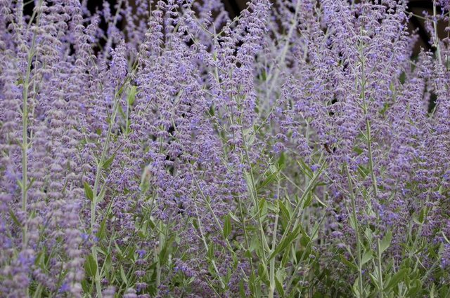 Russian sage's flowers and foliage complement any garden.
