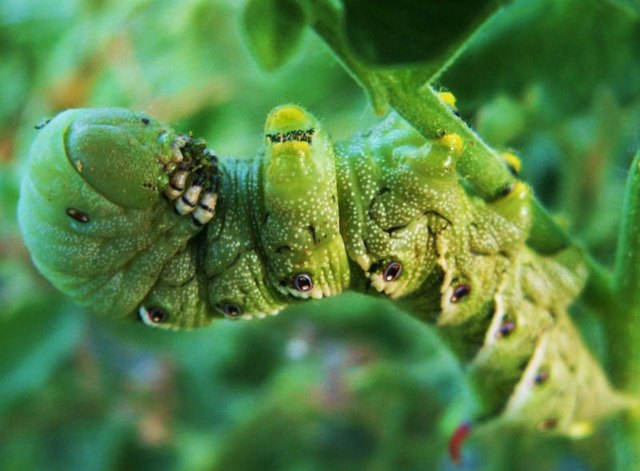 Like a green alien invader, the tomato hornworm hides among the tomato's green leaves.