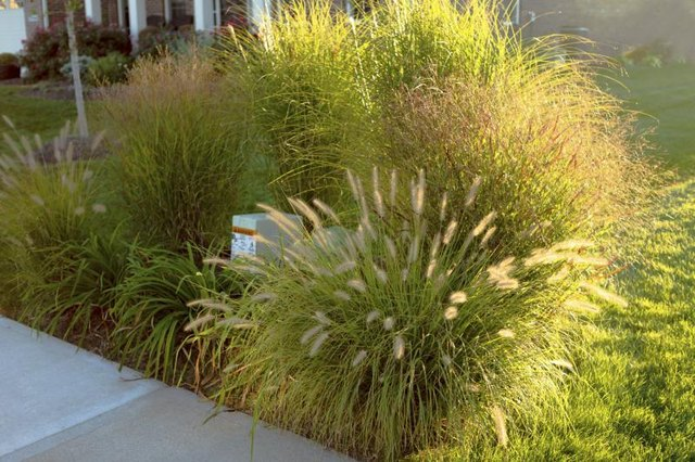 An array of ornamental grasses covering an unsightly telecommunications box in a yard.