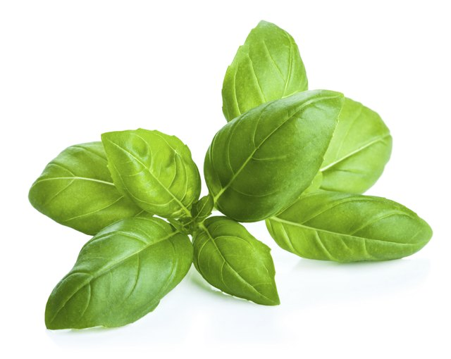 Basil leaves are rounded, with no lobes.