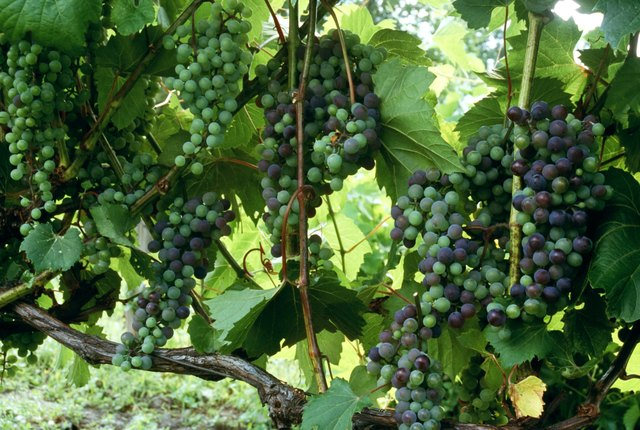 For added color, plant vines with differently colored grapes in the same pot.