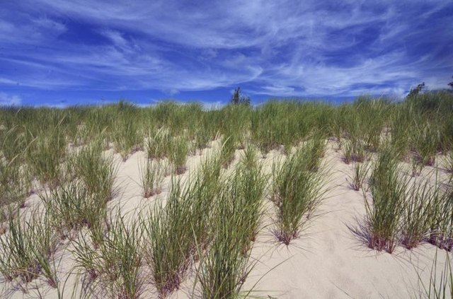 Beach grass grows on a sandy dune.