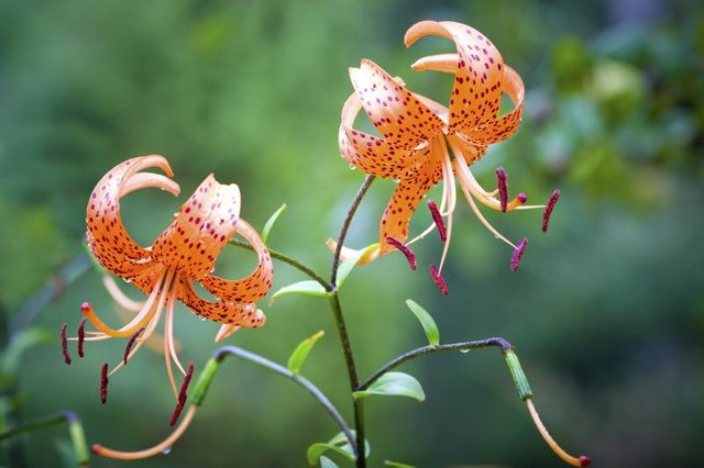 Tiger lilies with open flower petals