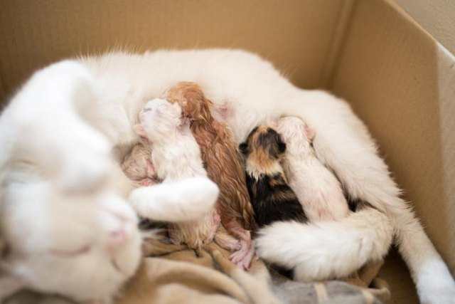 A litter of kittens drinking milk from their mother while in a cardboard box.