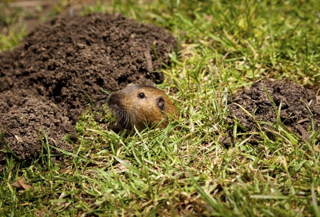 A gopher next to a pile of dirt.